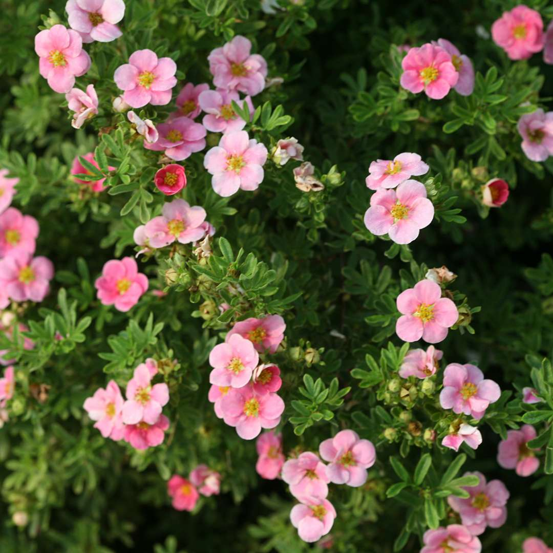 Close up of single pink Happy Face Pink Paradise Potentilla flowers