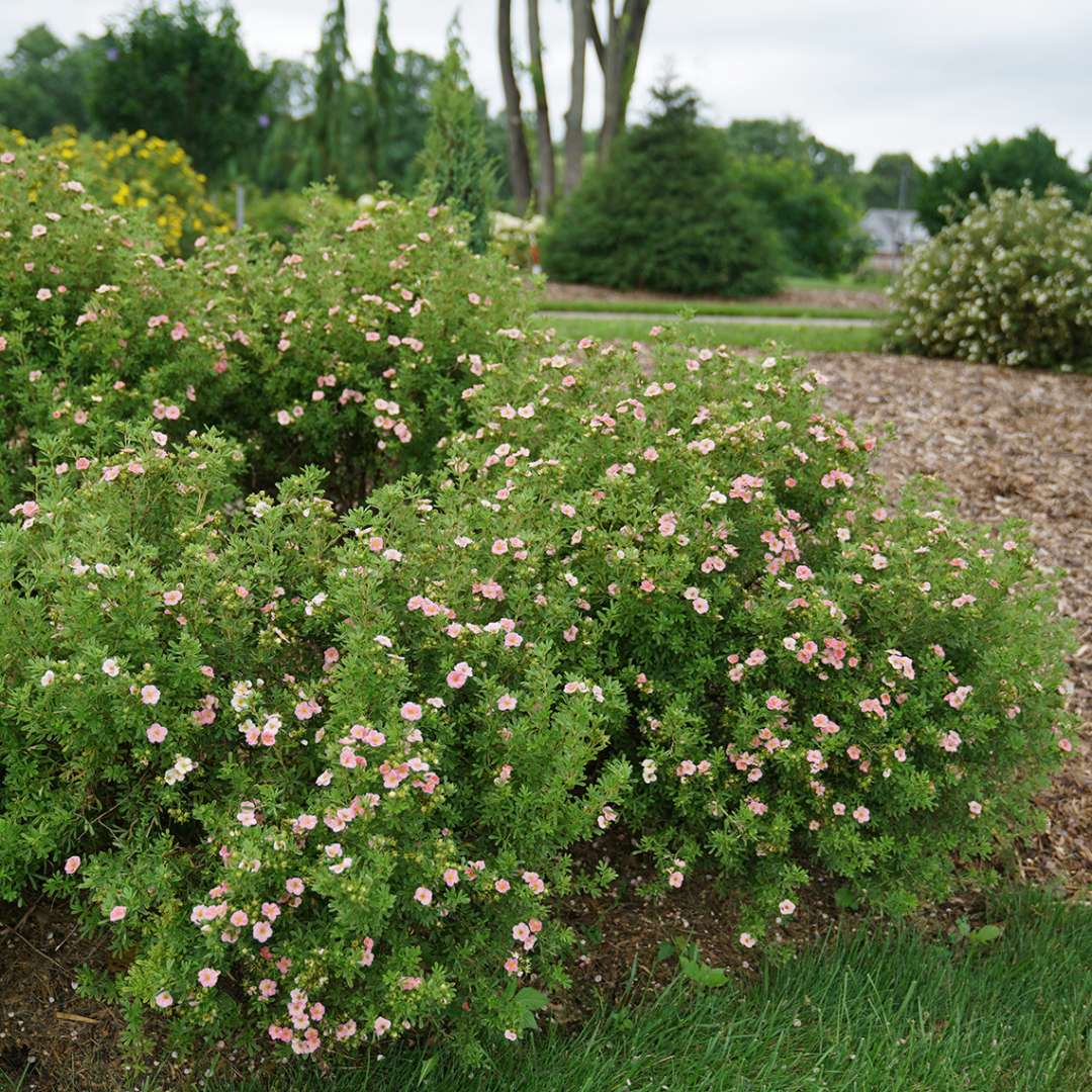 Mass landscape planting of Happy Face Pink Paradise Potentilla