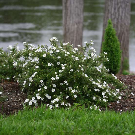 Mounded Happy Face White Potentilla in landscape along river