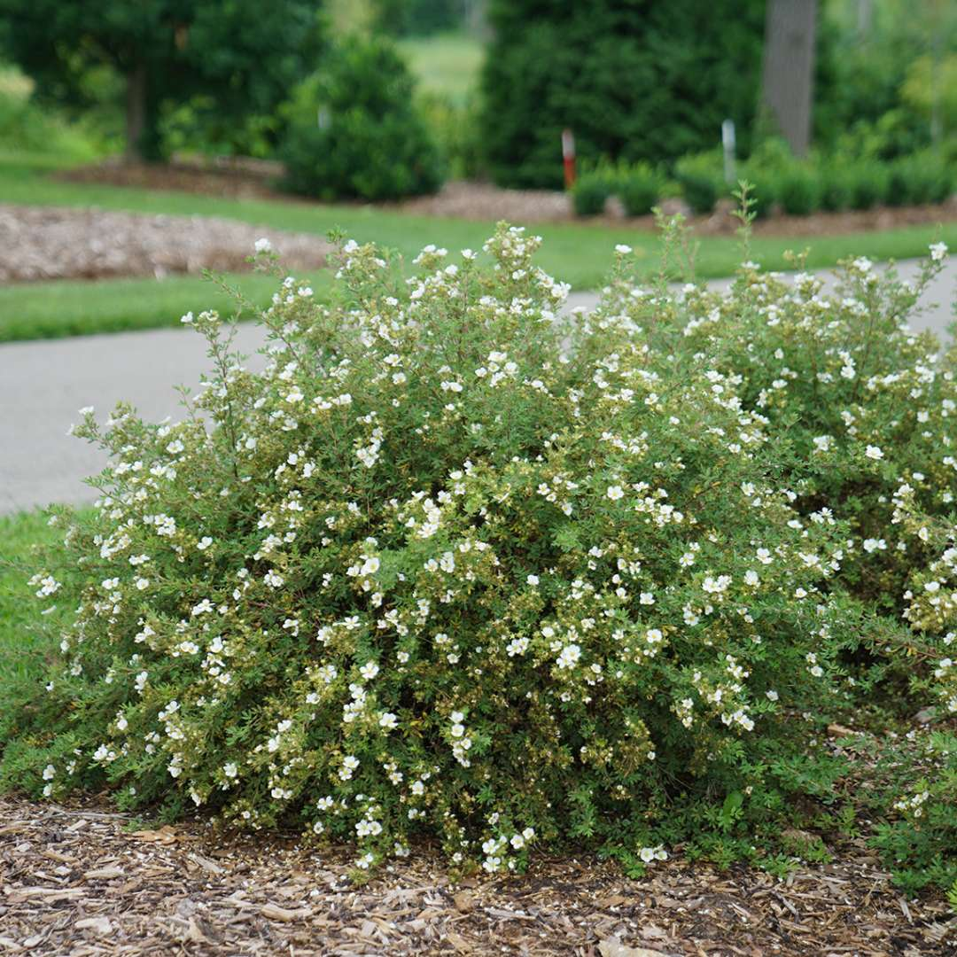 Mounded Happy Face White Potentilla planted along paved walkway