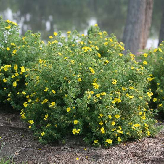 Trio of mounded Happy Face Yellow Potentilla near river