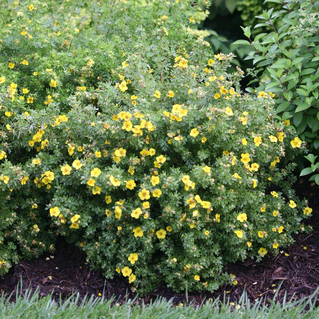 Happy Face Yellow Potentilla in garden bed