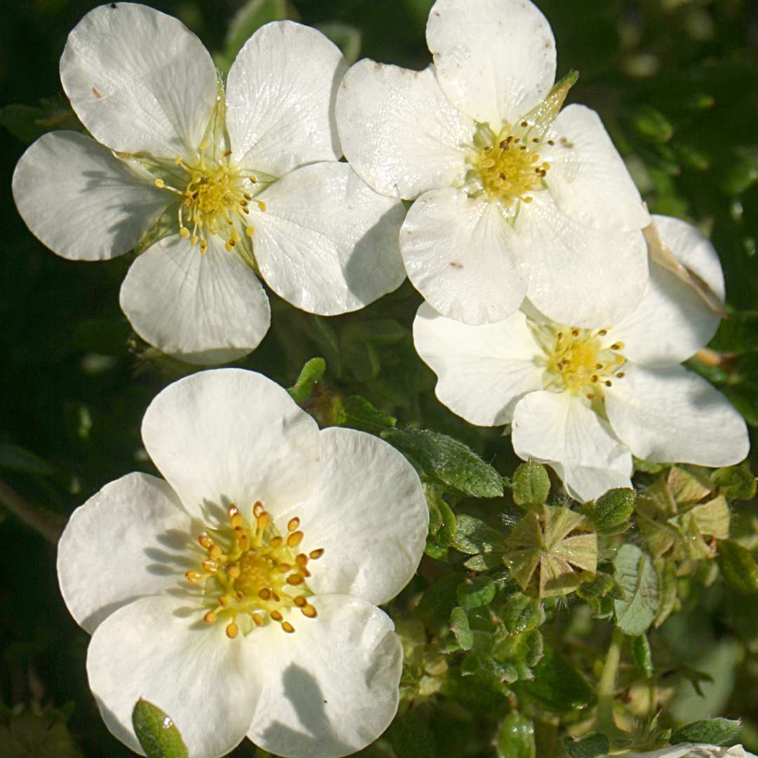 Mckays White Potentilla Spring Meadow Wholesale Liners Spring