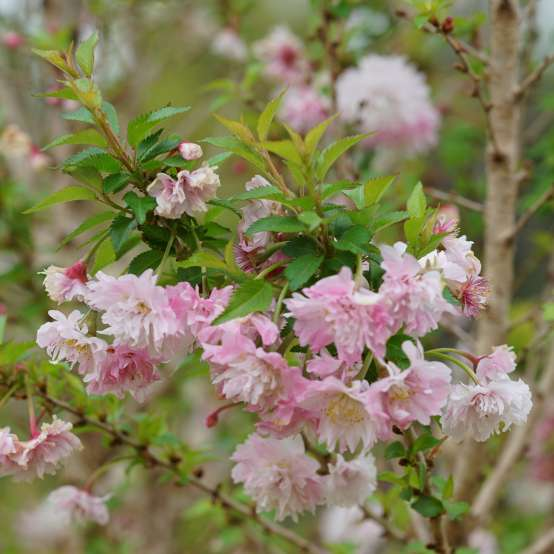 Close up of doubled pink spring flowers of Zuzu Prunus