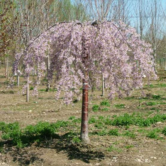 Pink Snow Showers is a weeping cherry with red bark and a flurry of delicate pink flowers.