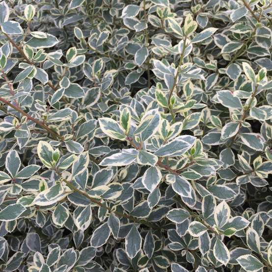 Close up of blue-green Rhamnus Argenteovariegata foliage with ivory margins