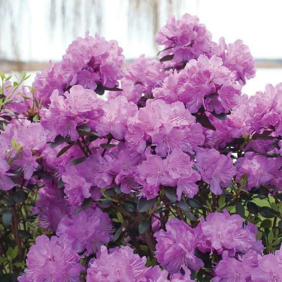 Pale purple blooms of Rhododendron Amy Cotta with lake and willow tree in the background