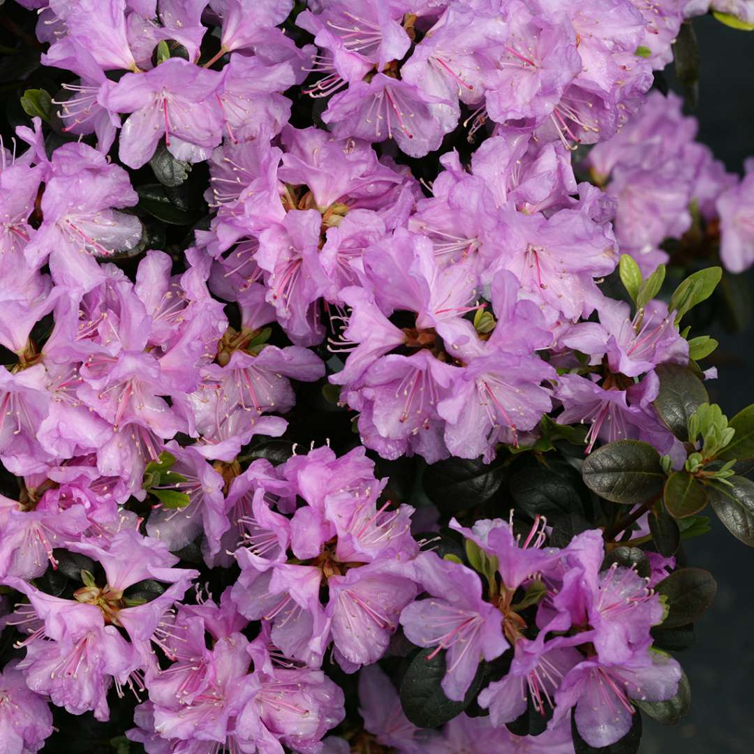 Close up of light lavender Rhododendron Amy Cotta flowers