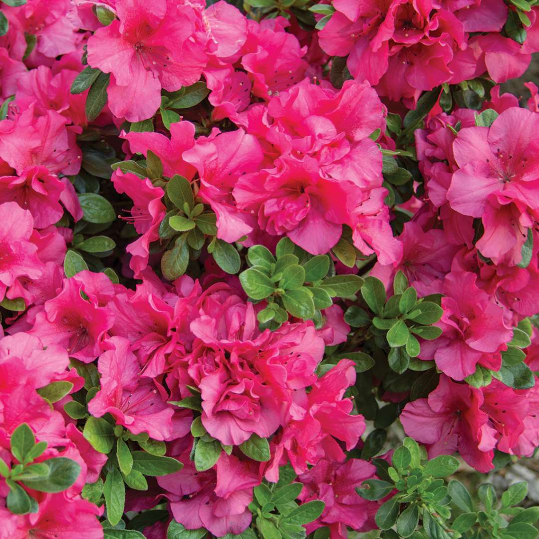 Close up of dozens of Bloom-A-Thon Hot Pink reblooming azalea blooms with foliage peeking through