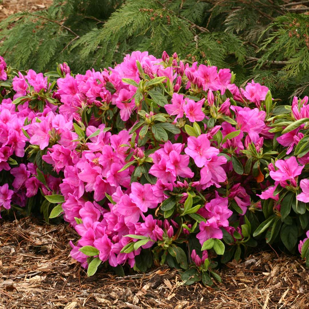 Mounded Bloom-A-Thon Lavender reblooming azalea planted near evergreen
