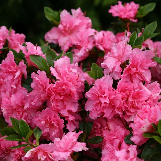 Close up of frilly Bloom-A-Thon Pink Double reblooming azalea flowers