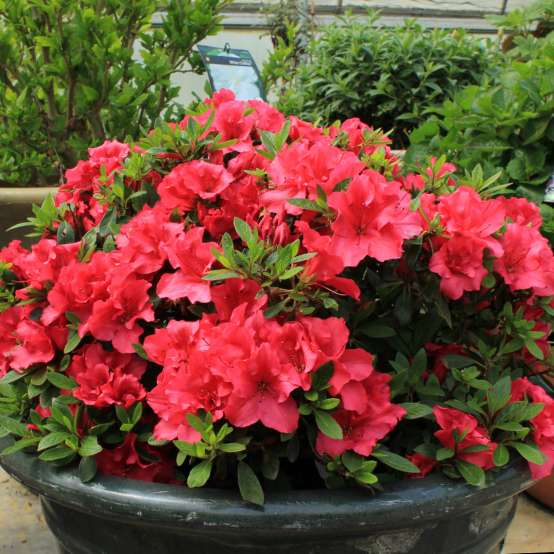 Bloom-A-Thon Red reblooming azalea in decorative pot in greenhouse