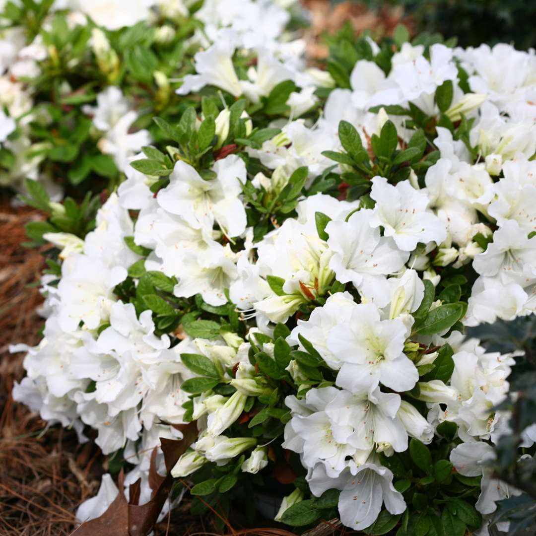 Bright white flowers on low mounded Bloom-A-Thon White reblooming azaleas