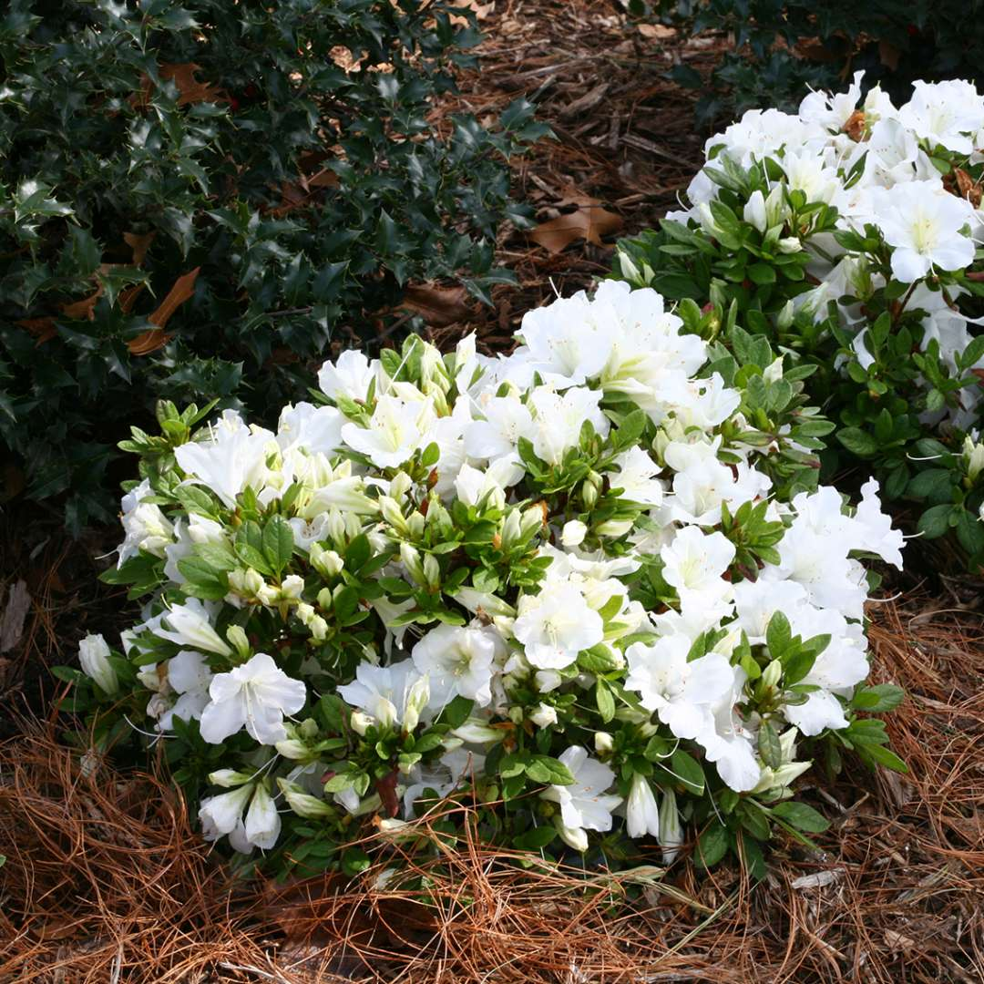 Bloom A Thon White Azalea Spring Meadow Wholesale Liners Spring Meadow Nursery