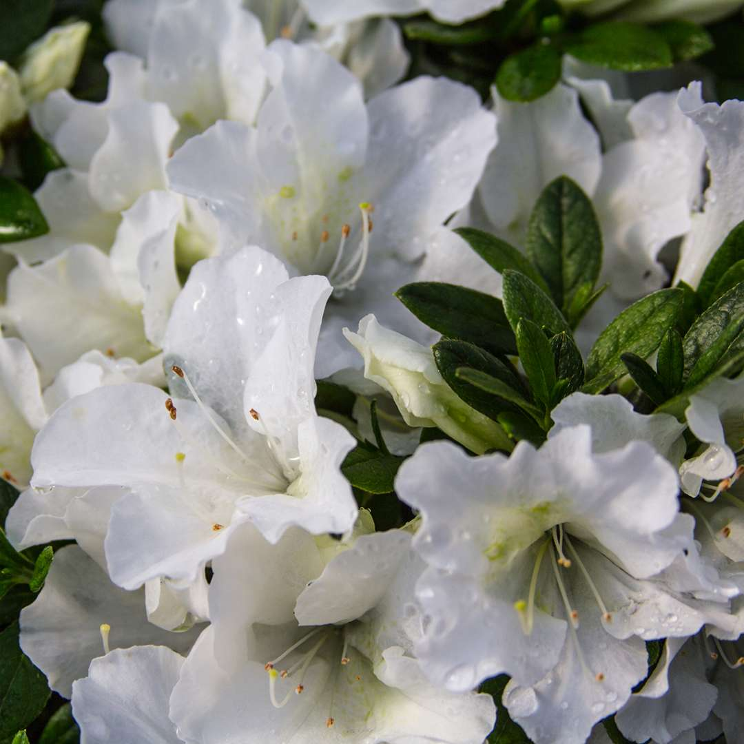 Close up of clear white Bloom-A-Thon White reblooming azalea flowers