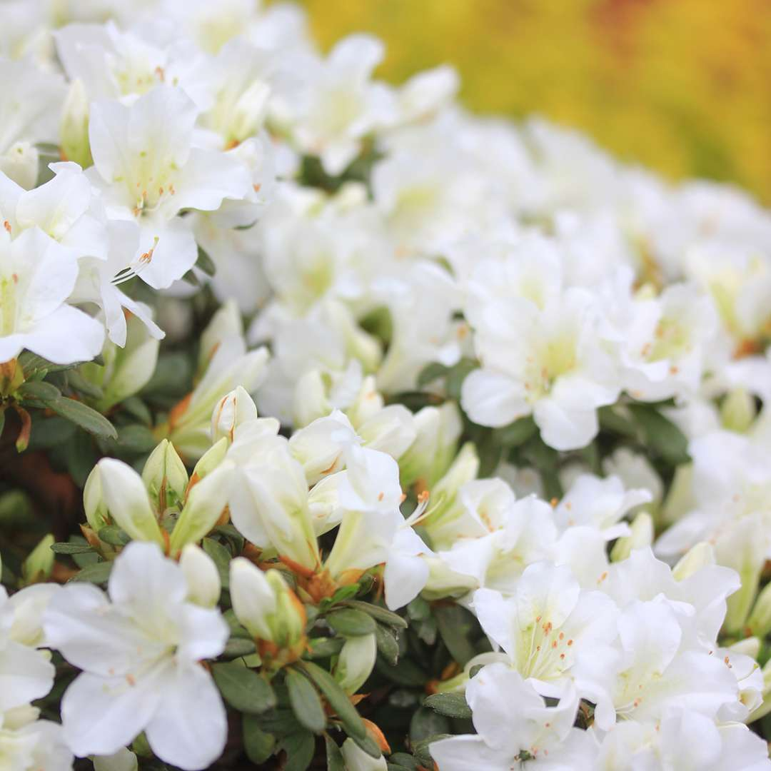 Close up of Bloom-A-Thon White reblooming azalea with yellow flowers in background