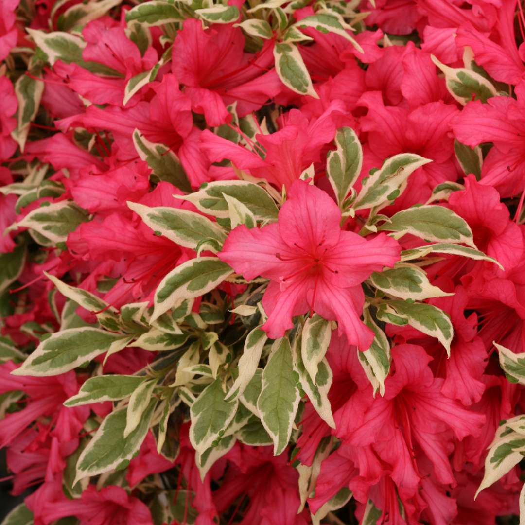 Close up of vibrant red pink Bollywood azalea blooms overlapping crisp green and white variegation