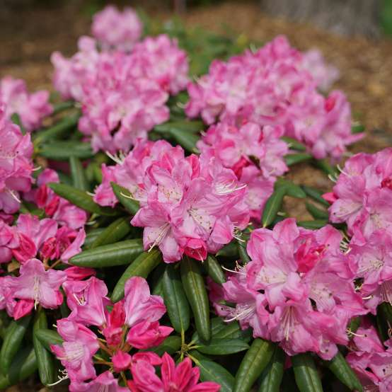 Bright pink  Rhododendron Dandy Man Pink flowers
