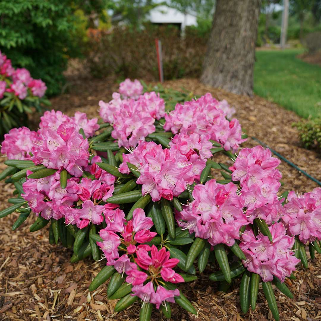 Well branched Rhododendron Dandy Man Pink in mulched bed