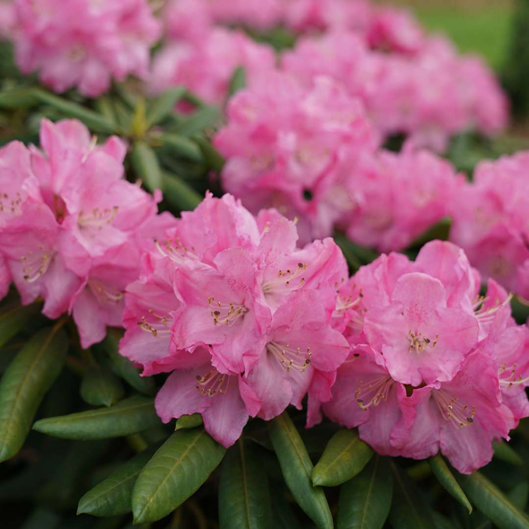 Close up of blooming Rhododendron Dandy Man Pink