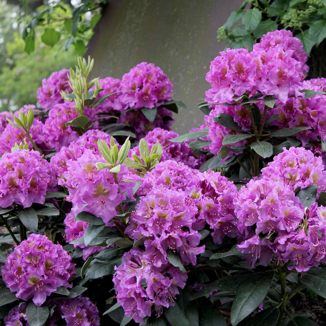 Rhododendron Dandy Man Purple blooming in garden next to metal garden art