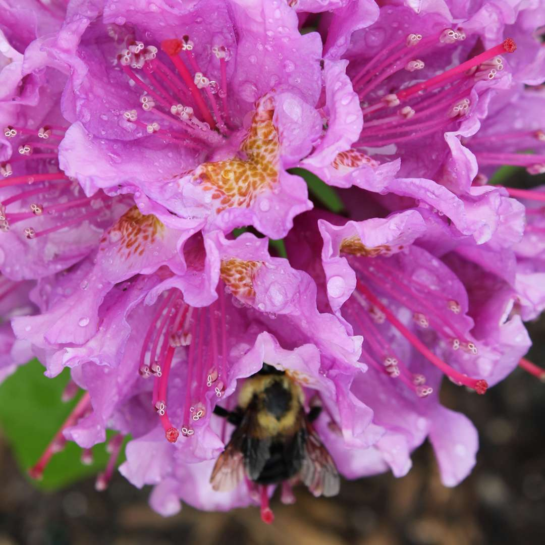 Close up of freckled Rhododendron Dandy Man Purple flowers with resting bee