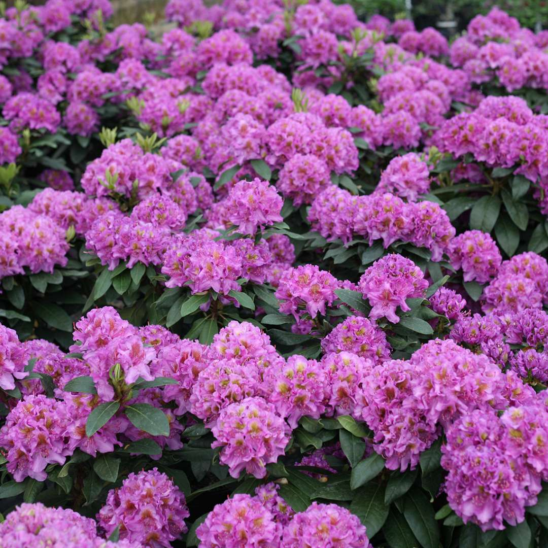 Sea of lavender Rhododendron Dandy Man Purple flowers in greenhouse