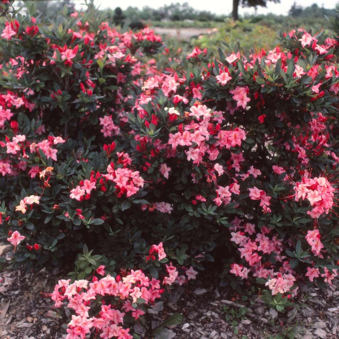 Weston S Lollipop Azalea In Landscape With Abundant Pink On Flowers