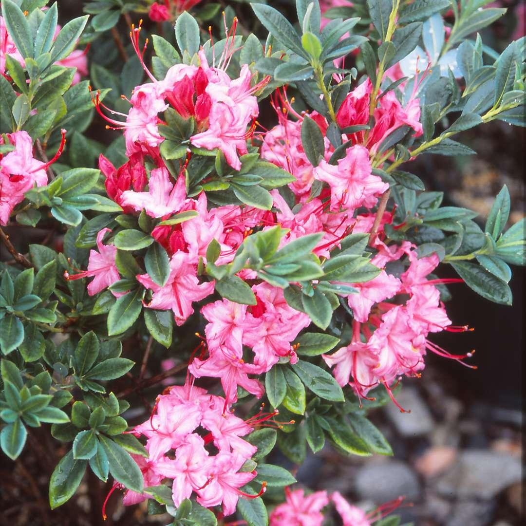 Close Up Of Pink Weston S Sparkler Azalea Flowers With Magenta Buds