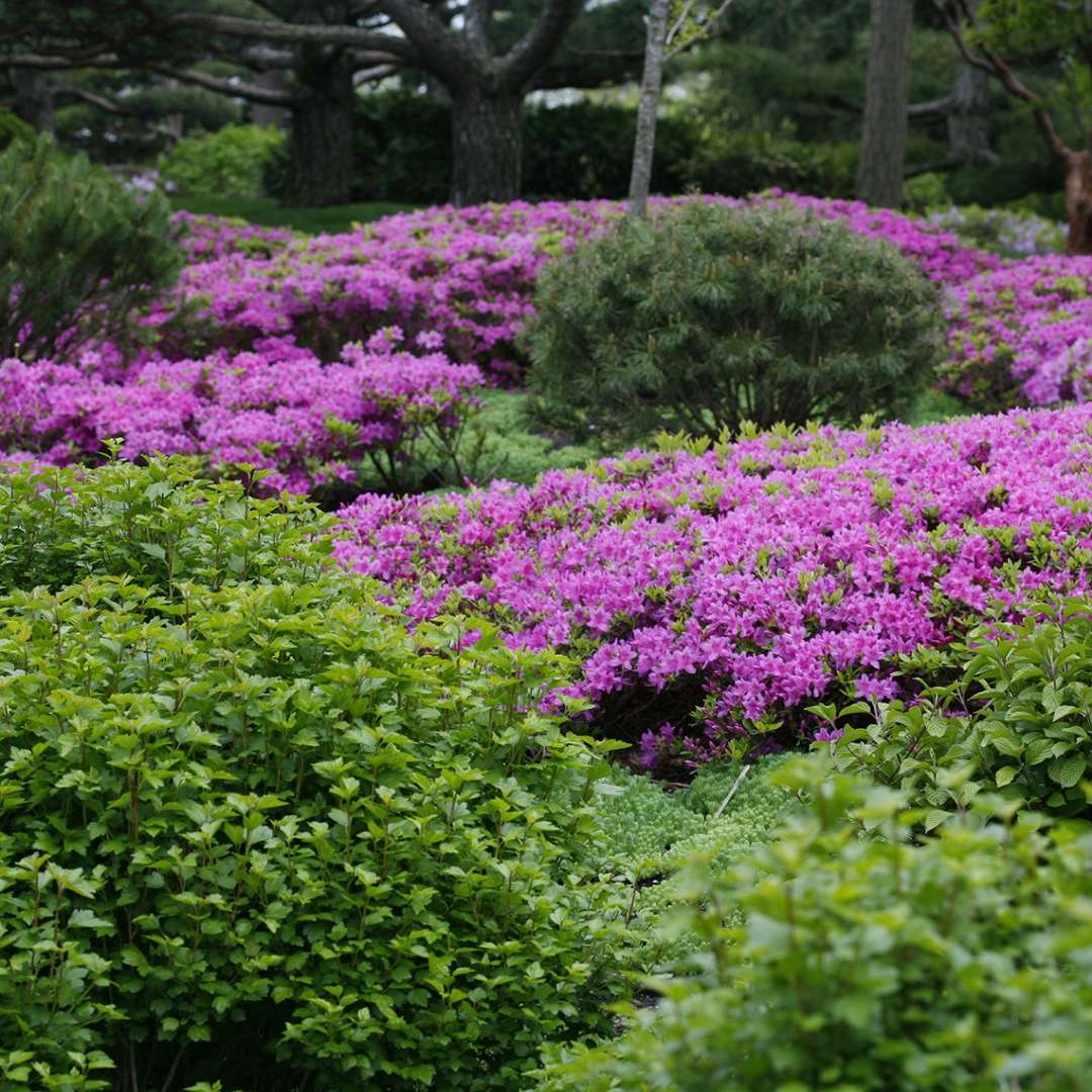 Drifts of Rhododendron Compacta intermixed with evergreen accents in spring landscape