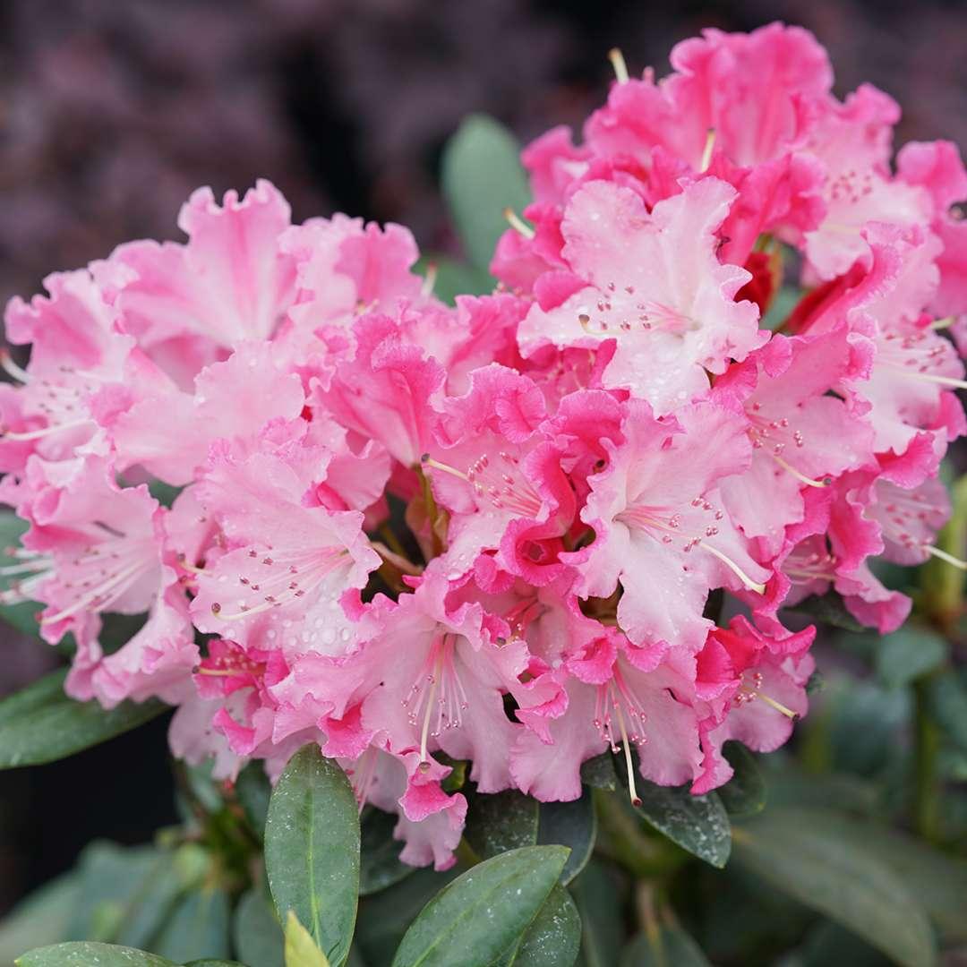 Dandy Man Color Wheel Rhododendron Spring Meadow Wholesale