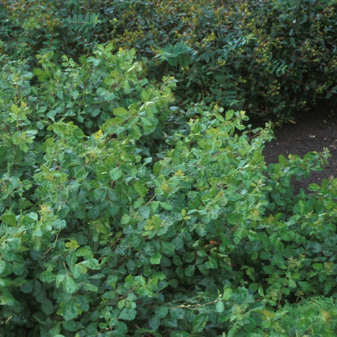 Spreading Rhus Grow-Low with glossy green foliage