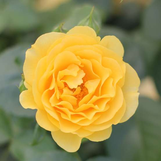 Buttery yellow Julia Child Rosa bloom