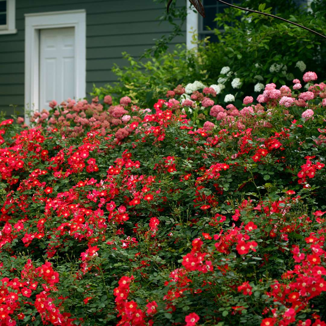 An abundance of red Oso Easy Cherry Pie Rosa flowers covering slope with Hydrangeas