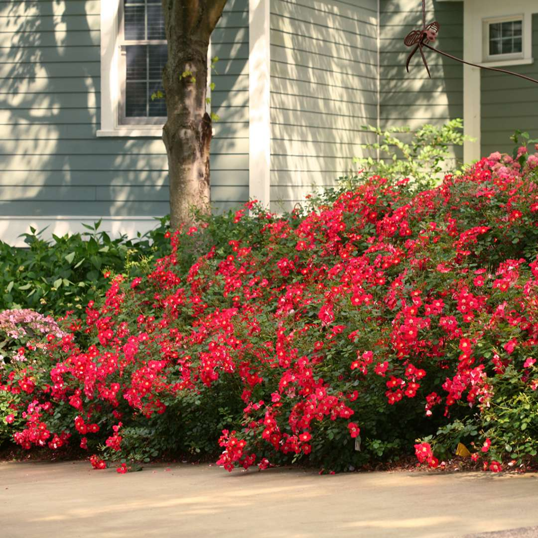 Mass planting of vivid Oso Easy Cherry Pie Rosa near tree and house