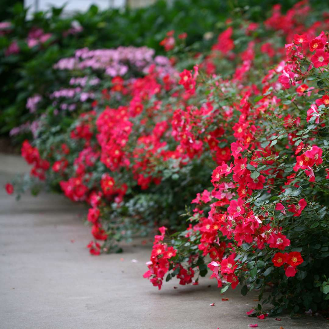 Red blooms of Oso Easy Cherry Pie Rosa spilling onto cement walkway