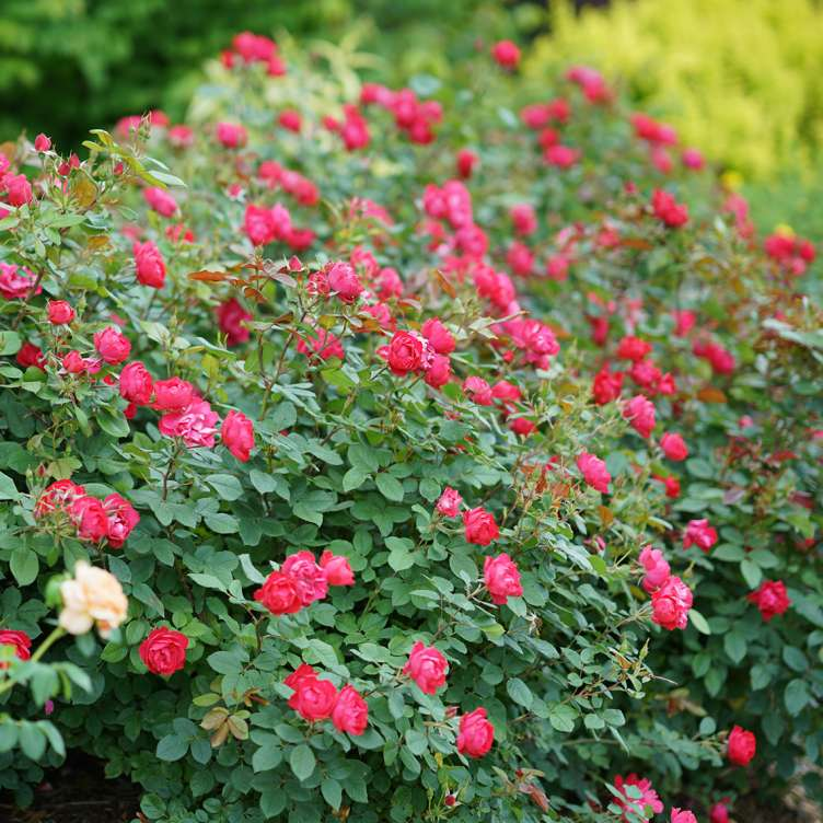 Drift of bright red Oso Easy Double Red Rosa in garden
