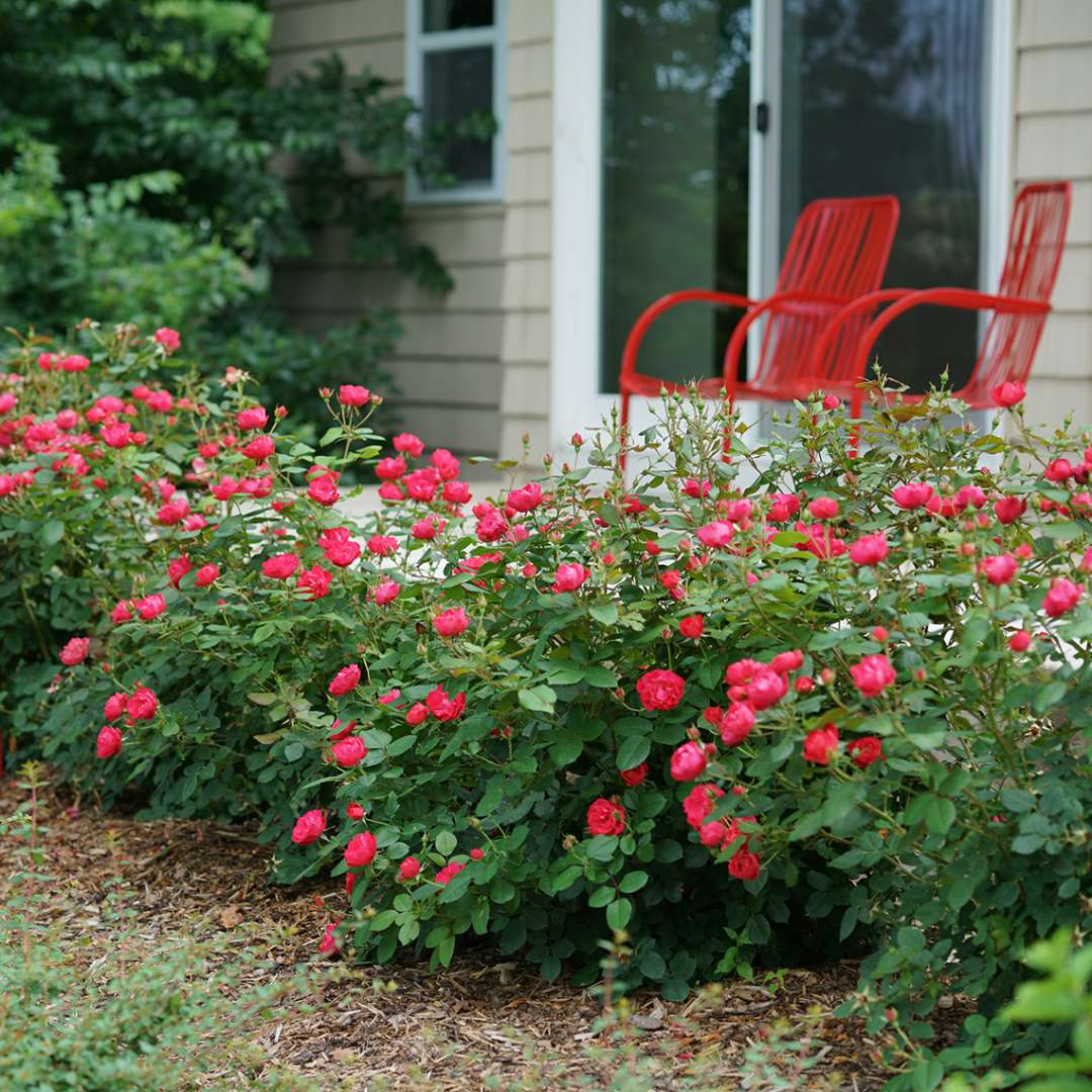 Hedge of blooming Oso Easy Double Red Rosa along patio with matching red chairs