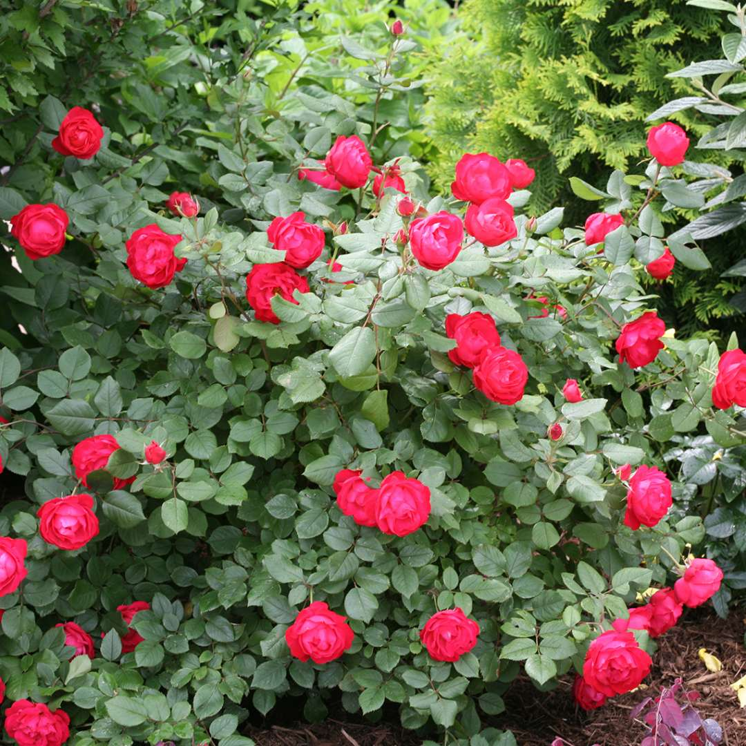 Rounded Oso Easy Double Red Rosa in landscape