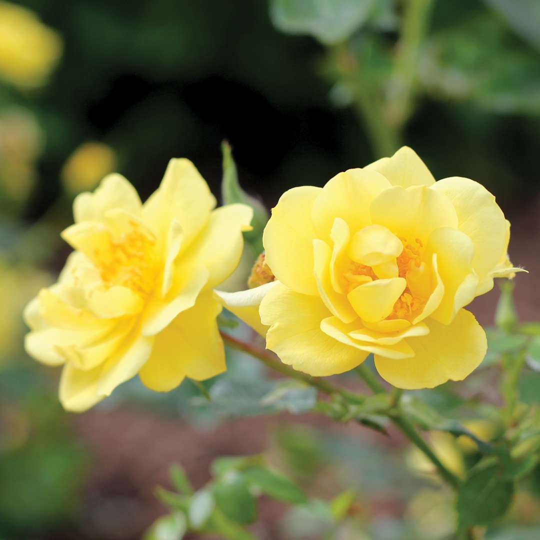 Two sunny yellow Oso Easy Lemon Zest Rosa blooms on branch