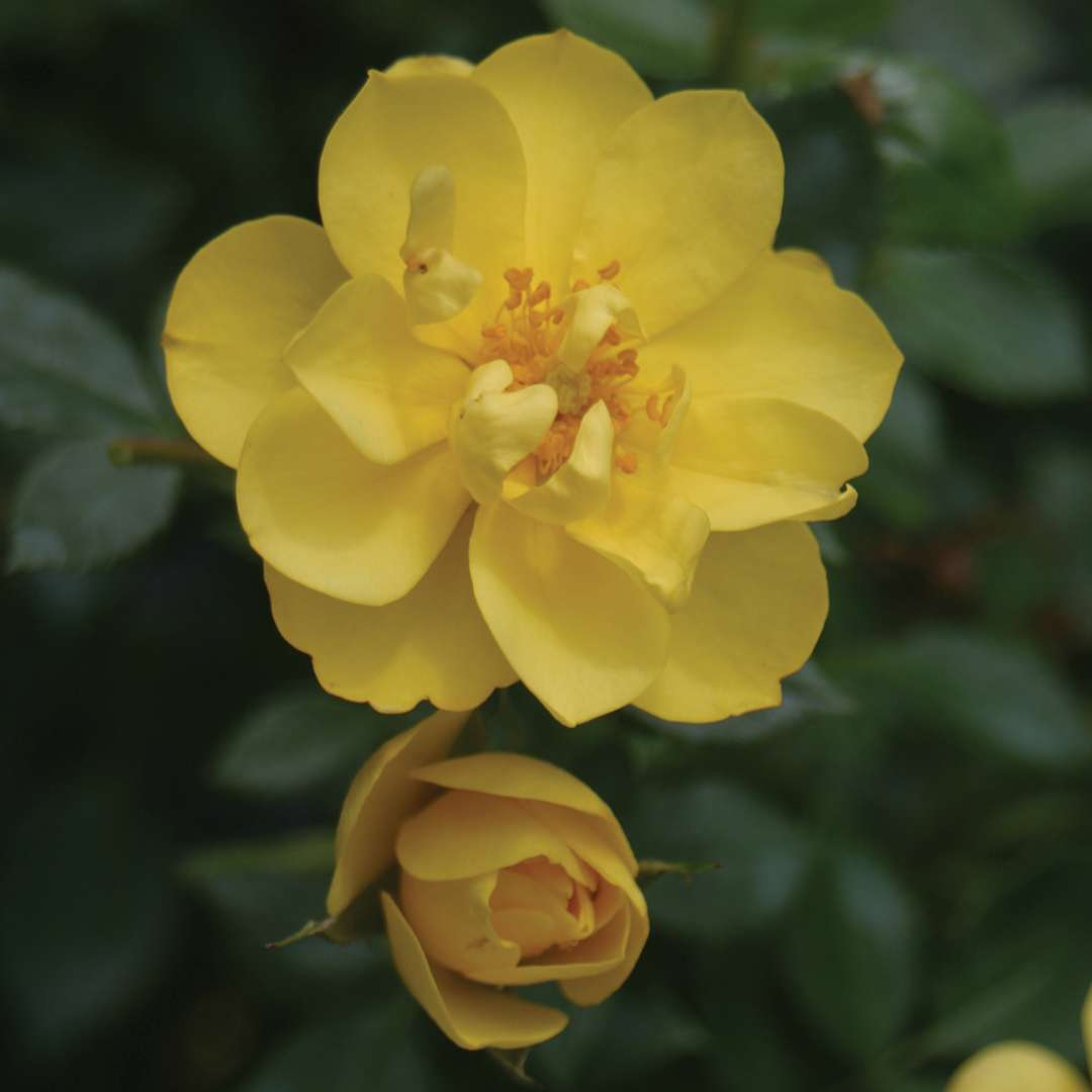 Close up of bright yellow Oso Easy Lemon Zest Rosa flower and bud