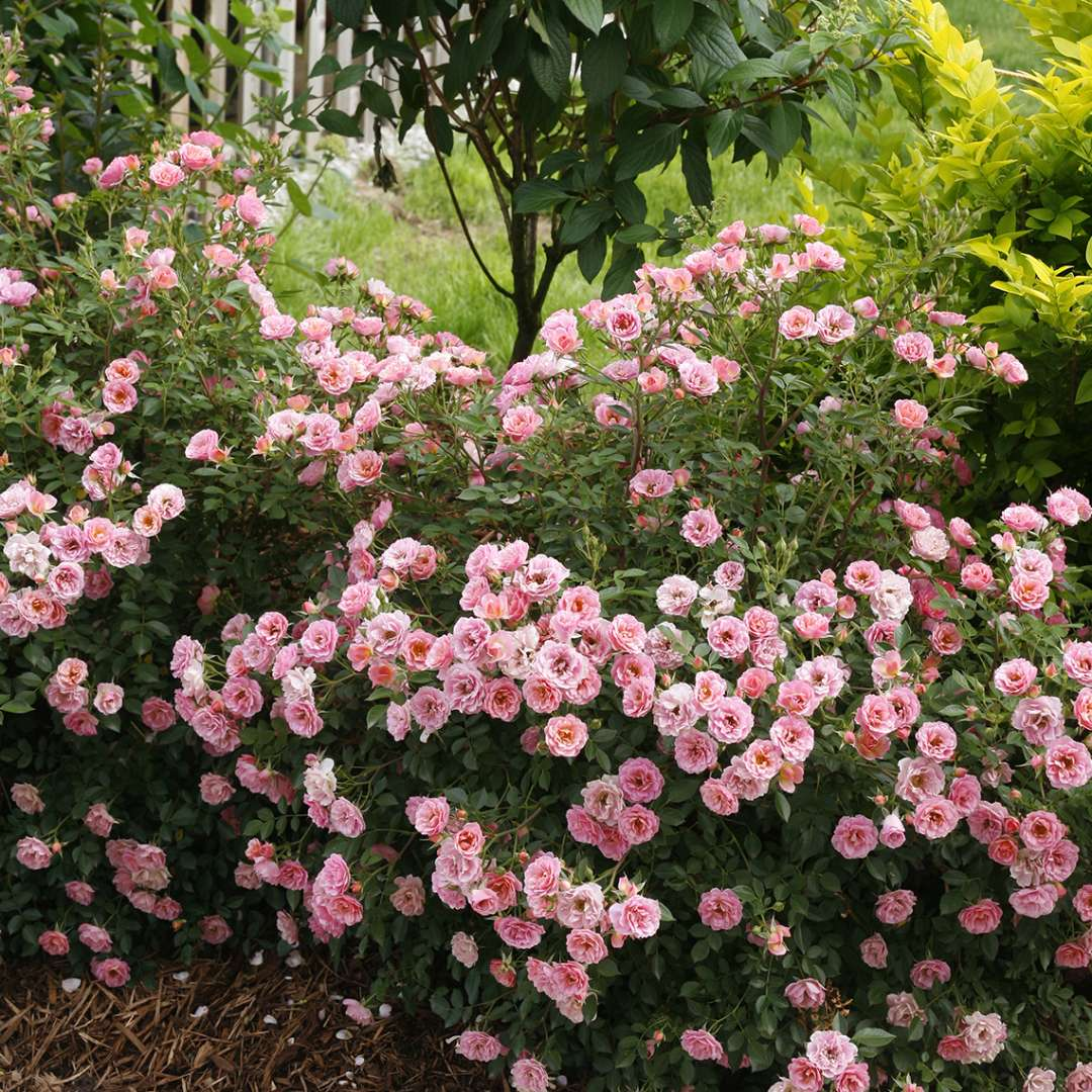 Abundantly bloomng Oso Easy Petit Pink Rosa in landscape border