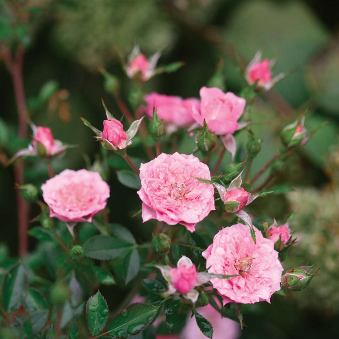Close up of bubblegum pink Oso Easy Petit Pink Rosa flowers and buds
