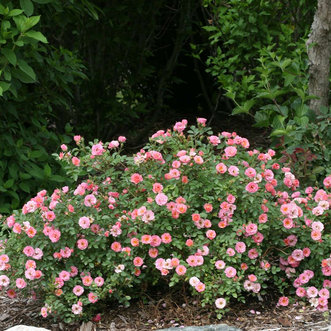 Mounded planting of Oso Easy Petit Pink Rosa