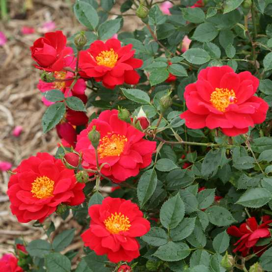 Multiple blooms of double scarlet red Oso Easy Urban Rosa Legend flowers