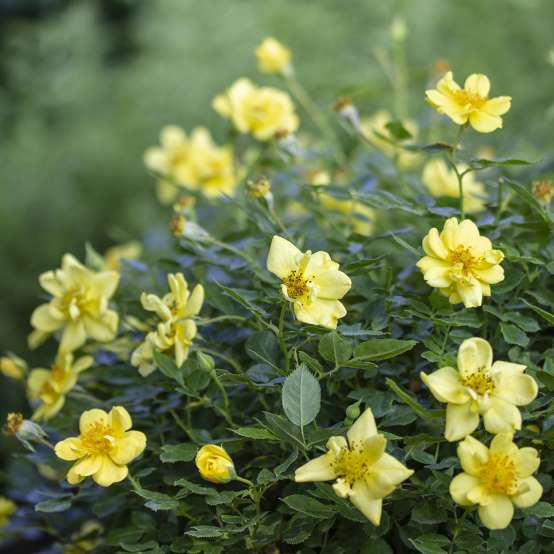Numerous yellow blooms covering Oso Easy Lemon Zest rose