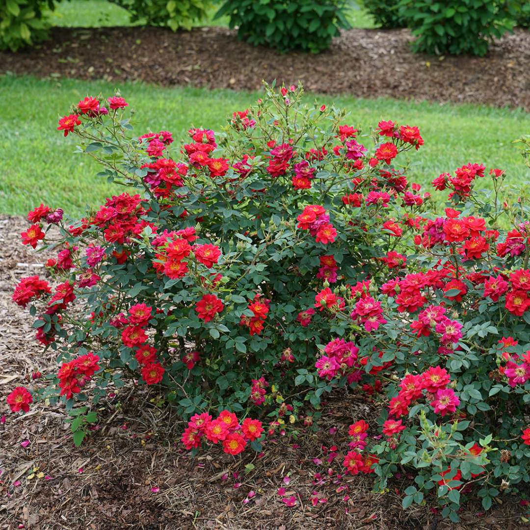 Mounded Oso Easy Urban Legend Rosa with dozens of scarlet flowers and buds