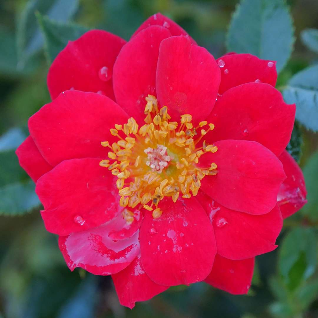 Close up of vivid red Oso Easy Urban Legend bloom with bright yellow center