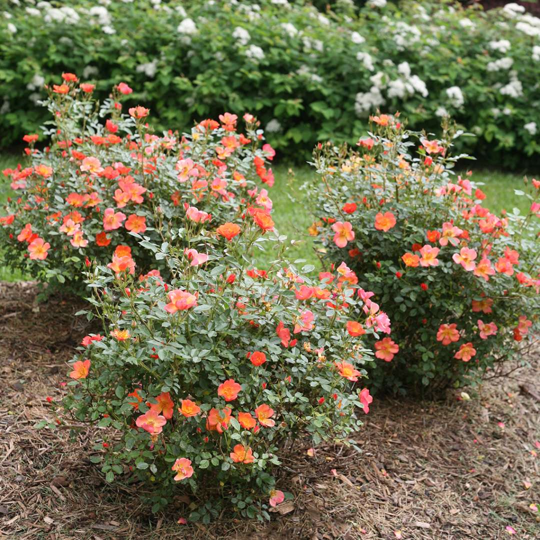 Three Oso Easy Hot Paprika Roses blooming in garden bed