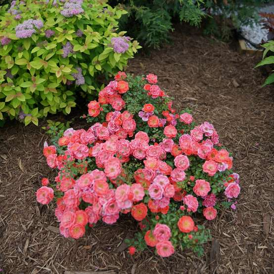 Heavy blooming Oso Easy Mango Salsa Rose in a garden bed